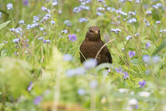Blackbird (Geoff Brightmore) Tags: femaleblackbird 2018 balackbird birds female horncastle may nature wildlife