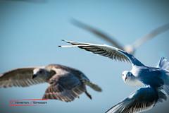 Curious Seagull (Thoober) Tags: eos70d insel nordsee texel urlaub seagull möwe sky bird vogel wings birding outdoor