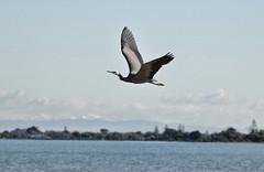 Flight..... (flying-leap) Tags: newzealand nz estuary whitefacedheron southisland birds beach pacificocean seascape nature sea ocean christchurch blip2018 sony sonydscrx10m4 sonydscrx10iv sonyrx10iv wildlifenz christchurchnz southshore christchurchestuary