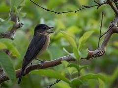 Caneleiro-de-chapéu-preto (Pachyramphus validus) Crested Becard (Eden Fontes) Tags: crestedbecard birds caneleirodechapéupreto itatiba pachyramphusvalidus sp aves condomíniocapeladobarreiro