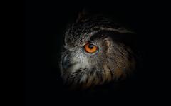 Eagle Owl (Nickerzzzzz - Thanks for stopping by :)) Tags: ©nickudy nickerzzzzz theartofphotography wwwdigittaliacom canoneos60d ef100400mmf4556lisusm photograph wildlife nature animal screechowlsanctuary bubobengalensis rockeagleowl indianeagleowl bengaleagleowl hornedowl owl bird eye feathers beak cornwall avian