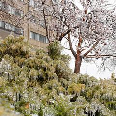 Ice bush (cedar) #2 (GardenOfEarthlyDelights) Tags: canada ontario places thorncliffepark toronto freezingrain ice icestorm