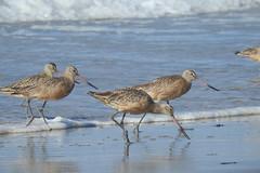 Long-billed Dowitcher (Aerophile83) Tags: longbilled dowitcher birds bird shorebird beach water monterey california