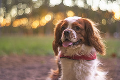 Good boy (Mireia B. L.) Tags: dog dogsunset cavalierkingcharlesspaniel cavalierdog sunset bokeh pentacon18 pentacon50mm pentacon