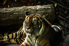 (Dylane Crle) Tags: tigre zoo beauval