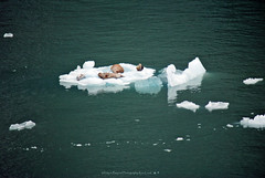 Sunbathing Seals (Infinity & Beyond Photography) Tags: seals alaska seal pup pus iceberg ice floe floes patch water endicottarm nature