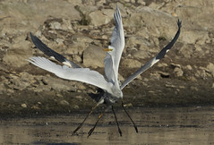 X Wing dogfight - In Rutland!! (Ann and Chris) Tags: chase chasing heron greatwhiteegret lake nature avian wildlife rutlandwater canon7dmarkii wildlifetrusts
