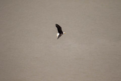 7K8A8037 (rpealit) Tags: scenery wildlife nature state line lookout bald eagle bird