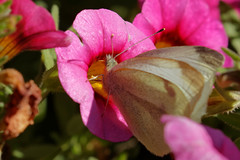 F36A0143_DxO_r2500 (solkatt64) Tags: butterfly insect nature macro