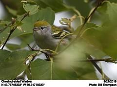 Chestnut-sided Warbler (Bill.Thompson) Tags: chestnutsidedwarbler setophagapensylvanica me birds