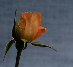 After the rain (petebond_au) Tags: beautiful gardens mornington peninsula rain orange rose spring
