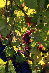Frutto di Bacco (DADAEOS) Tags: uva vino frutto vigna coloriautunnali autunno vendemmia lanche langa eos5dmarkii canon