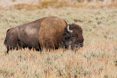 Bison, Lamar Valley, Yellowstone NP (lloydie1963) Tags: autumn bison wildlife colours closeup dx nikond7200 d7200 explore holiday inexplore nikon lamarvalley landscape animal animals nature outdoor onlythebestofnature sky usa usaroadtrip yellowstonenp