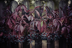 The beauty of Autumn (johanna151) Tags: fall autumn red blue berry leaf leaves branch vine fence nature outdoors