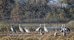 Sandhill Cranes (randyherring) Tags: ca california centralcaliforniavalley cosumnesriverpreserve elkgrove afternoon aquaticbird nature outdoor recreational waterfowl wetlands