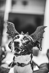 Big day is here :) (mripp) Tags: fun funny dog dogs hund hunde animal halloween black white mono monochrom art vintage retro old disguise