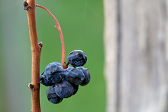 (♥iana♥) Tags: vino uva grape vendemmia autunno autumn fall rosso red vite vigna grapevine montemarano avellino campania italia
