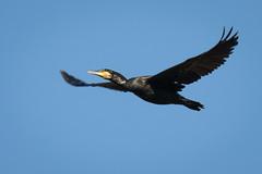 Kormoran (Phalacrocorax carbo) 0160 (fotoflick65) Tags: kormoran phalacrocoraxcarbo weikerlsee linz fotoflick65 leopold kepplinger d7100 ta150600 tamronspaf150600mmf563divcusd tamronsp150600mmf563divcusdg2 fl600 fl450600 st800 st400800 f9 iso500 iso400800 schwarz black vogel bird inflight fliegend fliegender animal y2018 ym10 flügel cormorant fd100m0 fd50b100 bof 32 wildlife bif nikonnaturephotography ds