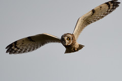 Short-eared Owl, North Norfolk 1 (JohnMannPhoto) Tags: shortearedowl northnorfolk