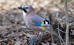 a Jay (2/2) (Franck Zumella) Tags: bird jay geai leaves ground eat eating manger sol blue bleu animal wildlife oiseau nature winter hiver