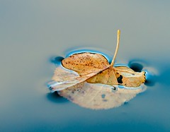 Afloat (Karen_Chappell) Tags: floating float leaf autumn fall one blue orange brown nature macro water pond liquid surfacetension