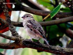 DSCN4160 House Sparrow-Female (Passer domesticus) (vlupadya) Tags: greatnature animal aves fauna indianbirds house sparrow passer kundapura karnataka
