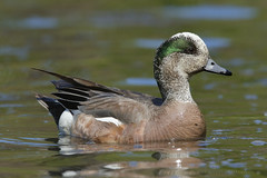 Sea of Green (danielusescanon) Tags: duck drake americanwigeon swimming male anasamericana anseriformes anatidae anchorage alaska spenardcrossing