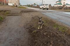 Ерофеевский пёс (vikkay) Tags: ерофей павлович поселок улица собака пес
