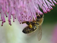 honey bee on Sanguisorba (conall..) Tags: closeup raynox dcr250 macro rowallane national trust saintfield walled garden northernireland sanguisorba bee honeybee apis mellifera apismellifera pollination flower pollen load pollenload colour