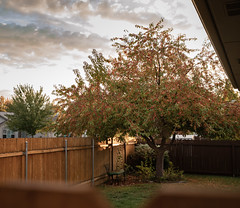 Day 329 | Crab Apple Tree in the Fall