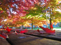(CanMan90) Tags: fall colours autumn liquidambar uvic university victoria britishcolumbia vancouverisland workplace beach leaves studenthousing clusterhousing cans2s canon powershotsd1200is pointshoot october 2018