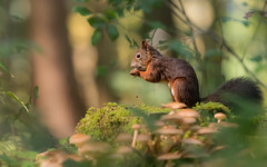 little lunch (ciwi.photography) Tags: allgäu herbst autumn forest squirrel bokeh nikon d500 light eichhörnchen