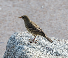 Scilly Rock Pipit
