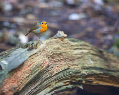 Rotting and Decaying Wood. (SteveCrowhurst 2011) Tags: rotting decaying robin birds light colours textures