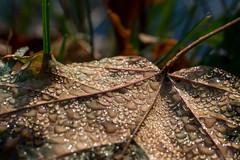 Fallen Leave (titusgaertner) Tags: leaves blatt laubblatt natur wasser tropfen drops waterdrops wassertropfen herbst autumn tautropfen braun makro nahaufnahme