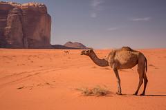 Desert Life (IRRphotography) Tags: desert jordan wadirum camel camels mountain rick red sand travel middleeast canon sky