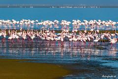 Flamingo Collonie (astrofan80) Tags: afrika atlantik flamingos meer namibia strand tiere urlaub vögel walvisbay erongo na