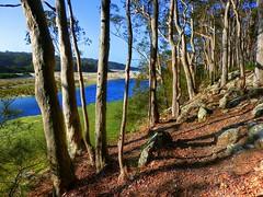 Forest and stream II (elphweb) Tags: hdr highdynamicrange nsw australia forest bush tree trees wood woods spottedgum spottedgums spottedgumtrees waterway water stream creek weed algae