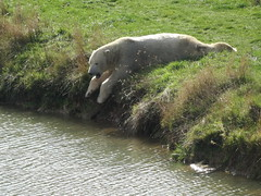 Omg, it's a long way down (Nobby) (LadyRaptor) Tags: yorkshirewildlifepark yorkshire wildlife park doncaster ywp nature outdoors autumn time sun sunny sunshine shine shining bright grass rocks water lake ripples reflection edge shore mud laying splayed sunbathing basking rest resting relaxed relaxing chilling happy content cute animal animals predator carnivore caniformia ursidae polarbear polarbears male polar bear bears ursus maritimus projectpolar nobby