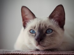 PB050607 (Vladimir V. Samoylov) Tags: 75mm animals cat e5markii mzuiko75mmf18 m43 micro43 microfourthirdsmicro43 olympus olympusm75mmf18 omd μ43