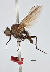 Aricia brunnescens Zetterstedt, 1845 (Biological Museum, Lund University: Entomology) Tags: zetterstedt diptera anthomyiidae aricia brunnescens delia mzlutype00431 taxonomy:binomial=ariciabrunnescens