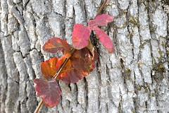 Anticipating autumns arrival (JSB PHOTOGRAPHS) Tags: jsb924500001 autumn leaves bark tree nikon d3 28300mm dorrisranch
