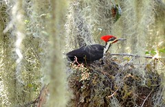 O2K_0538 (68photobug) Tags: 68photobug nikon d7000 sigma sg 150500mm picnicarea woodpecker bird pileated florida polkcounty