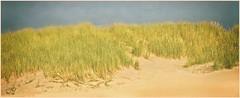 HELM (bert • bakker) Tags: dunes duinen helmgras helm zand bluesky blauwelucht marram nikon85mm18g bergenaanzee