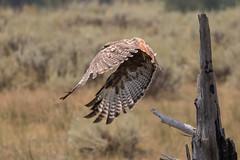 Launch of a Red-tailed Hawk (Mark Schocken) Tags: buteojamaicensis birdofprey hawk raptor markschocken