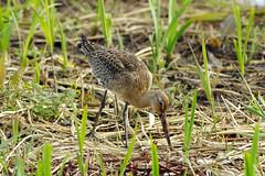 K32P5454c  Black-tailed Godwit, RSPB Leighton Moss, September 2018 (bobchappell55) Tags: wild nature wildlife rspbleightonmoss lancashire bird blacktailedgodwit limosalimosa