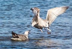 Envy- (pootlepod) Tags: canon60d closeup candid colour gulls fishing feeding imitation otter razorclams wildlife flight sea devon broadsands raw nature batural habitat wings envy