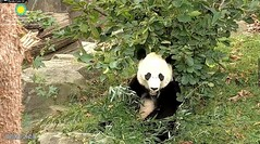 2018_10-05 (gkoo19681) Tags: beibei chubbycubby fuzzywuzzy adorableears brighteyed toofers morningboo hiding toocute beingadorable comfy precious amazing perfection posing meltinghearts contentment ccncby nationalzoo
