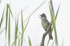 DSC_6599 (P2 New) Tags: 2018 animaux date espagne extremadura mai oiseaux passériformes pays rousserolleturdoïde sylvidae