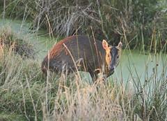 Photo of Muntjac Deer